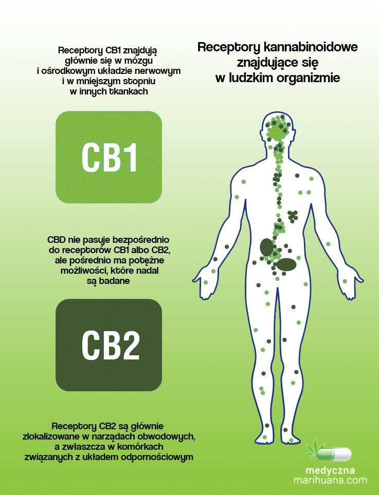 Receptory endokannabinoidowe w ludzkim organizmie