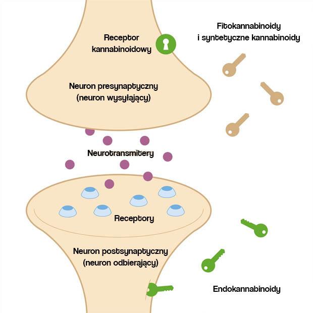 układ endokannabinoidowy - receptory kannabinoidowe