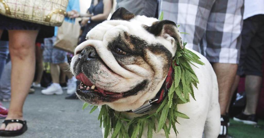 marihuana dla zwierzat