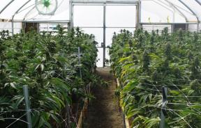 Marihuanę uprawianą