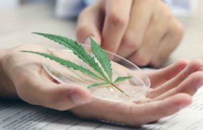 badań marihuaną