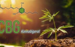 olej CBG i jego wpływ na ludzki organizm