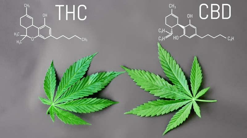 medyczna-marihuana-vs-olejek-cbd