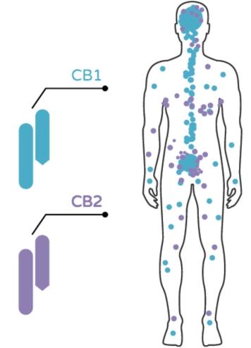 układ endokannabinoidowy receptory