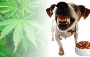agresja psa CBD może ją łagodzić