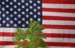 limit THC w USA podniesiono do 1%
