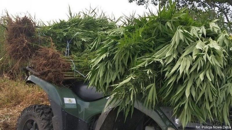 trzy plantacje marihuany zlikwidowane przez policję